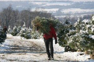 south-mountain-plantation-carrying-christmas-tree-from-field